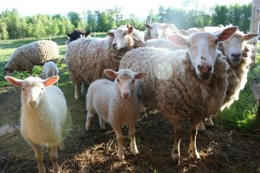 calf&lambs0007